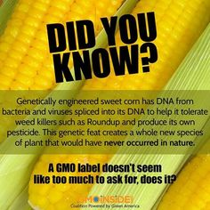 GMO sweet corn is genetically engineered to be herbicide resistant (Roundup Ready) and to produce its own insecticide (Bt Toxin). Like all GMOs, genetically modified sweet corn has not been thoroughly tested to ensure that it is safe for consumption. Learn more about avoiding GMOs here: http://gmoinside.org/how-to-avoid-gmos #GMOs #righttoknow #labelGMOs #food