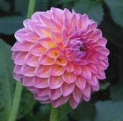 Small Decorative dahlia 'Pink Suffusion'