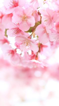 Cherry Blossom Wallpaper, Cherry Blossom Flowers, Pink Blossom, Flower Background Wallpaper, Flower Phone Wallpaper, Flower Backgrounds, Flowers Nature, Pretty Flowers, Spring Flowers