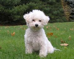 bichon frise - super smart, super cute dogs