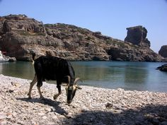 Unique Greek goats, drinking only sea water