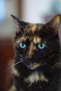 tortoiseshell cat with blue eyes---PRETTY  ^..^