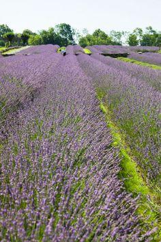 Carousel Lavender Farm - Bucks County PA