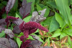 Amaranthus Hybrid - License Botanical Images & Stock Photography  from http://archive.chrisridley.co.uk - This image is Copyright Chris Ridley.
