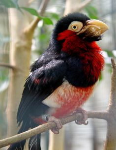 The Bearded Barbet (Lybius dubius) is an African barbet. Barbets and toucans are a group of near passerine birds with a worldwide tropical distribution. The barbets get their name from the bristles which fringe their heavy bills. The Bearded Barbet is a common resident breeder in tropical west Africa.