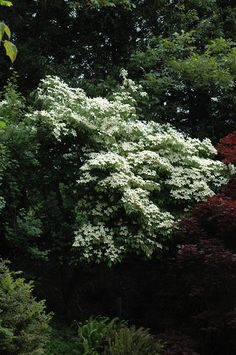 Lustgarten Weeping Chinese Dogwood Cornus Kousa
