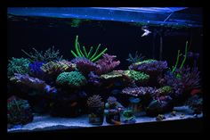 There is just something about those large colorful Acropora colonies that captures our attention.