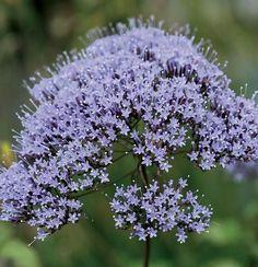"Trachelium caeruleum ""Perennial Blue Lace Flower"""