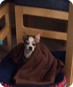 Columbus, OH - Chihuahua. Meet Charley Bear, a dog for adoption. http://www.adoptapet.com/pet/14772891-columbus-ohio-chihuahua