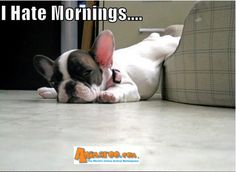 Explore this interactive image: I hate mornings - French Bull Dog by Animaroo