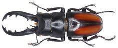 Family: Lucanidae Size: 23-61 mm Location: Vietnam, Yen Bai Prov, Country An Fu, 1996. det. U.Schmidt, 2007 Photo: U.Schmidt, 2007