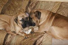Pablo & Francesca #Bullmastiff
