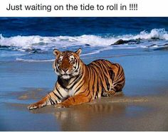 Go Tigers! Beat that tide!