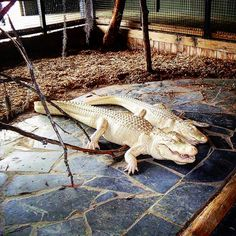 Fascinating Albino Alligators at Alligator Adventure in North Myrtle Beach, South Carolina (Photo via Instagram by @aerosavas - Click on the pin for other fun Myrtle Beach area adventures and places to stay.)