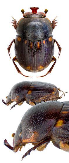 Onthophagus batillifer.  (Scarabaeidae: Dung Beetles)