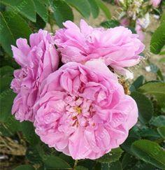 Bernard est fleuri de grosses roses doubles, au fort parfum agréable, d'une jolie couleur rose.  Aussi facile de culture que rustique c'est un arbuste à port érigé (120 à 140 cm) au feuillage vert clair. Remontée moins spectaculaire que la première floraison. Portland. Robert, 1881.