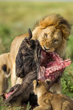 Africa | Male lion carries a partially eaten carcass of Wildebeest on the open savanna plain.  Ndutu Plains, Ngorongoro Conservation Area, Tanzania | © Paul Souders
