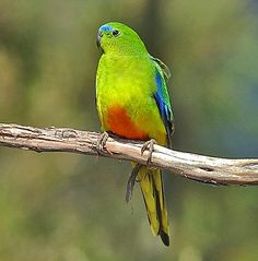This is the scale of Extinction, and the Orange Bellied Parrot is scaled at Critically Endangered.