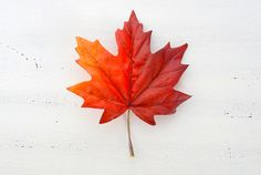 Maple Leaf Pictures, Images and Stock Photos - iStock