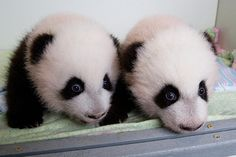 Giant panda twin cubs Mei Huan (l.) and Mei Lun, the first pair of twin giant panda cubs to be born in the United States and survive // Photos of the day 10/23 - The Christian Science Monitor - CSMonitor.com