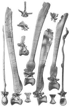 "Twitter / ferwen: #FossilFriday ""Illustrations ..."