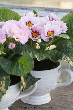 primrose in teacup
