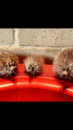 Cute tiny teasel hedgehogs