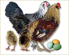 Guide To Poultry Breeds Research and Compare | Tractor Supply Co.