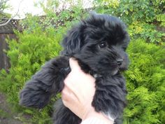 Black Havanese! want this lil baby!