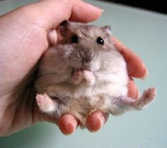 Hamsters Caught Stuffing Their Big, Fat Faces Baby Hamster, Hamster Pics, Hamster Care, Animals And Pets, Baby Animals, Funny Animals, Hamster Breeds, Funny Hamsters, Amazing Animals
