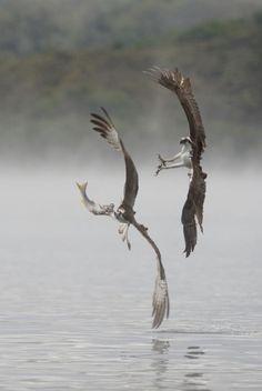 "Eagle""s catching fish @ Lake Phillsburry"
