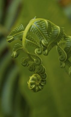 I know it's a fern frond, but they're so beautiful and delicate. I have so many ferns, and they're all special. Dame Nature, Fern Frond, Tree Fern, Fotografia Macro, Patterns In Nature, Natural World, Amazing Nature, Belle Photo, Shades Of Green