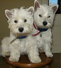 Westies are wonderful - looks a lot like our Max and Missy a long time ago...