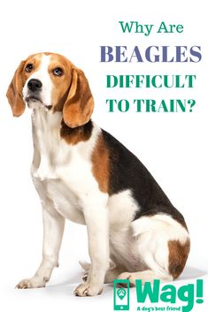 Are you interested in a Beagle? Well, the Beagle is one of the few popular dogs that will adapt much faster to any home. Whether you have a large family, playfu Dog Best Friend, Best Friends, Types Of German Shepherd, German Shepherds, Puppy Stages, Bulldog Breeds, Loyal Dogs, Popular Dog Breeds, Beagle Puppy