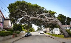 Lazy tree in Pacific Grove, CA