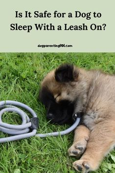 It is safe for your dog to wear a leash in the house during the day for training purposes, also known as umbilical cord training. However, it is not safe for him to sleep with it on. #dogtraining #dogtraininghelp #housetraining Pet Sitters International, Umbilical Cord, Cute Dog Photos, Dog Games, Pet Costumes, Training Your Dog, Dog Owners, Dog Mom, Pet Care