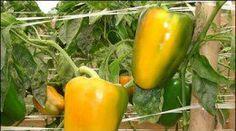 Como plantar pimentão