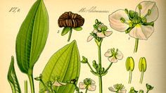 Alisma plantago-aquatica (common water-plantain)