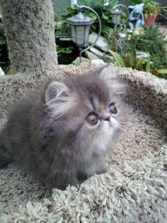 Persian Cat Shorthaired Blue Tabby PersianTap the link to check out great cat products we have for your little feline friend! Cute Little Kittens, Cute Cats And Kittens, I Love Cats, Crazy Cats, Kittens Cutest, Pretty Cats, Beautiful Cats, Kittens And Puppies, Cute Puppies