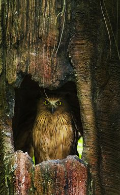 Owl in hollow tree. Recommend enlarging this image - the detail is stunning #Bird of Prey