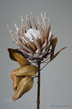 A dried and preserved single protea flower. Protea flowers are native to the Southern Hemisphere, existing since prehistoric times. The King Protea is South Africa's national flower.