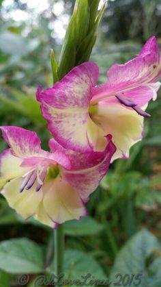 Gladiolus 'Flevo Laguna'.