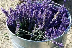 Loess Hills Lavender Farm Iowa    http://loesshillslavender.com/lhlf-products.html