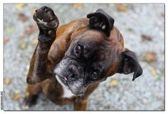 i love bpxers Boxer Dog Puppy, Boxer Breed, Boxer Mom, Boxer And Baby, I Love Dogs, Puppy Love, Cute Dogs, Chihuahua Love, Boxers