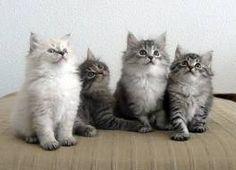 ¿Existen los gatos hipoalergénicos? http://blog.theyellowpet.es/existen-gatos-hipoalergenicos/