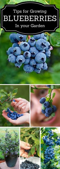 Top 10 Tips for Growing Blueberries