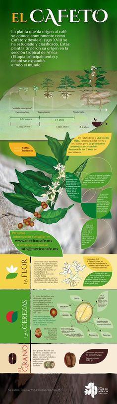 Te presentamos la planta que da origen al café.