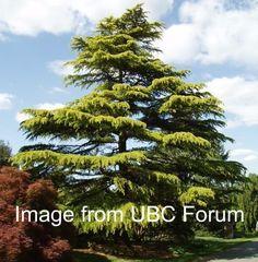 Kigi Nursery - Cedrus deodara ' Aurea ' Golden Himalayan Cedar, $15.00 (http://www.kiginursery.com/cedrus-deodara-aurea-golden-himalayan-cedar/)