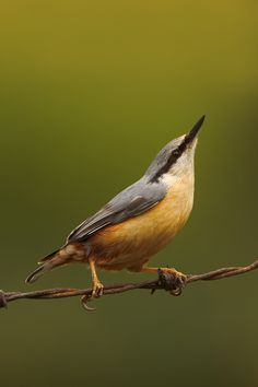 Nuthatch--one of these sweeties tried to nest in a wreath on our front door and wound up in our house!  My youngest was so sad when it flew back outside!  He wanted to keep it for his pet. :)