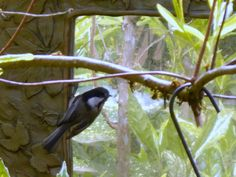 Little Chickadee looking at himself in Garden Mirror!